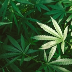 Learn About How Long Does THC Remain in the Body and DUI